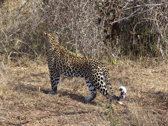 Marloth Park, Νότια Αφρική: Leopard