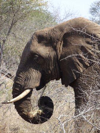 Marloth Park, Νότια Αφρική: Olifant