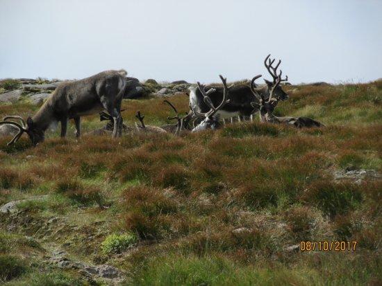 Aviemore, UK: The reindeer herd