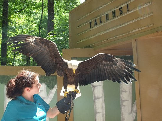 Carolina Raptor Center: Bald Eagle at flight show