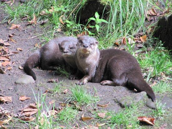 Chapel-en-le-Frith, UK: Otters