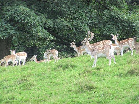 Chapel-en-le-Frith, UK: Fallow deer