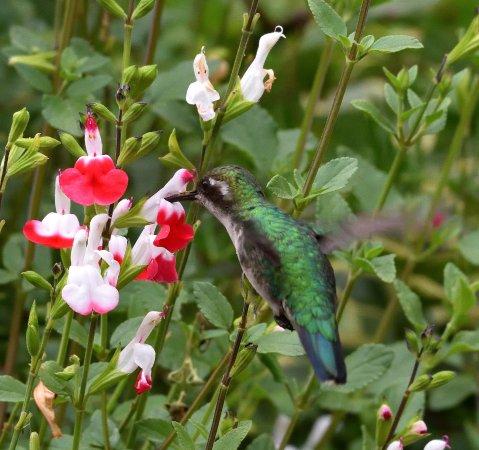 Western Emerald in Puembo Birding Garden