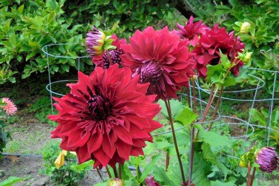 Mendocino Coast Botanical Gardens: MENDOCINO Botanical Garden   Dahlia  Garden