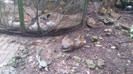 Barbados Wildlife Reserve: conigli...