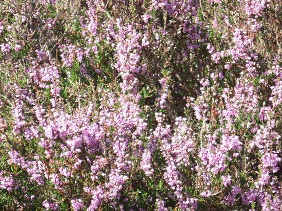 Lemele, Holandia: heide in bloei