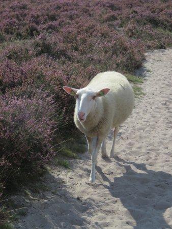 Lemele, Holandia: schaap