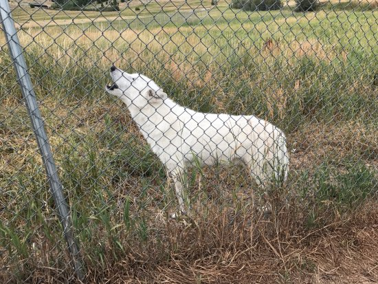 Howlers Inn Bed & Breakfast and Wolf Sanctuary : Comanche howling