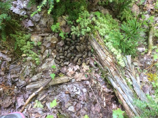Bridgton, ME: The second pic is a moose track in the trail!! 3rd pic is moose droppings in the trail!'