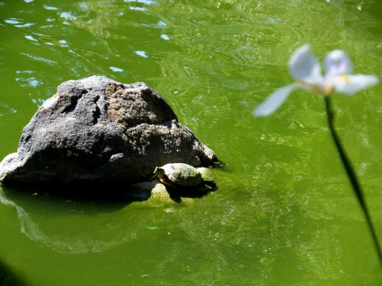 San Mateo, CA: a resident turtle, taking in some sunshine