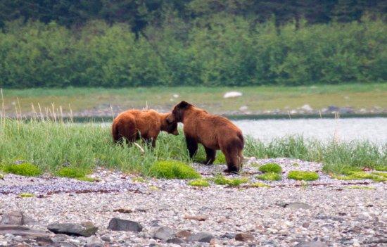 Gustavus, AK: Bear Courtship