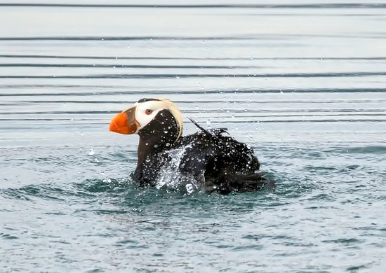 Gustavus, AK: Tufted Puffin