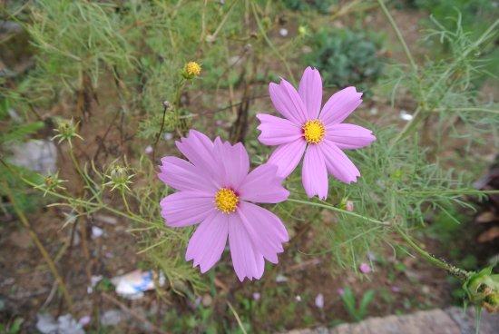 Wild pink flower picture of simarjarunjung hill parapat tripadvisor simarjarunjung hill wild pink flower mightylinksfo