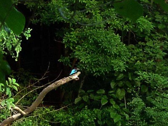 Sri Lanka grey hornbill (学名O...