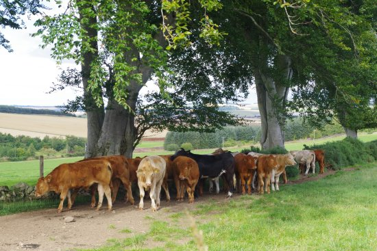 Inverurie, UK: Cows by the East Aquhorthies Stone Circle