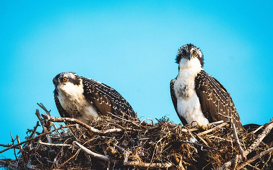 Rustico Resort Golf and Tennis Club: osprey babies on telephone pole outside cottages