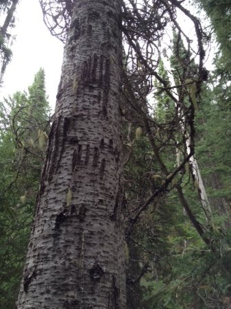 Manning Park, แคนาดา: Clawed up tree on the trail