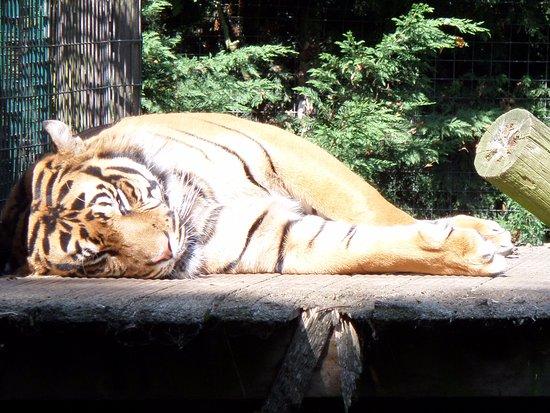Filby, UK: beautiful tiger