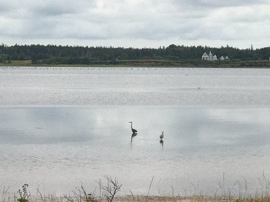 Saint Peters Bay, كندا: Some Great Blue Herons