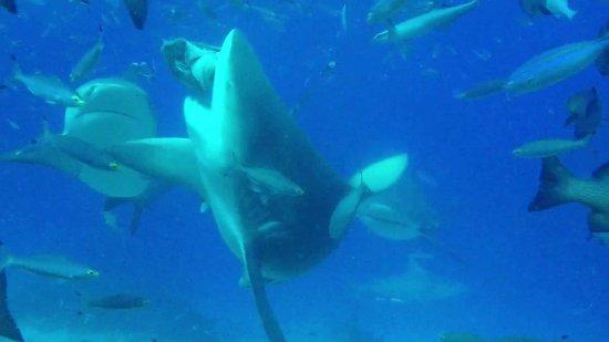 Kuata Island, ฟิจิ: Bull shark diving