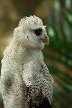 Perai, Malaysia: Cute Owl at the Park