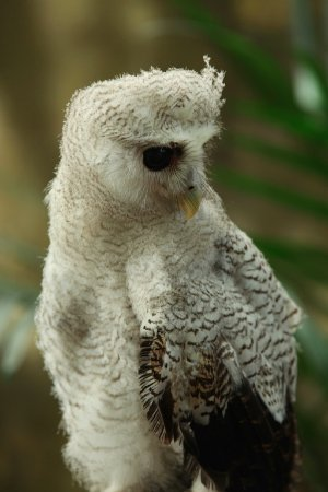Image of: Barn Owl Penang Bird Park Cute Owl At The Park Shinobi Stickers Cute Owl At The Park Picture Of Penang Bird Park Perai Tripadvisor
