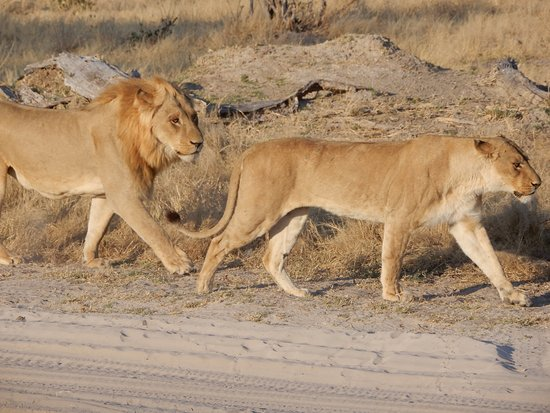 Savute Safari Lodge: courting lions