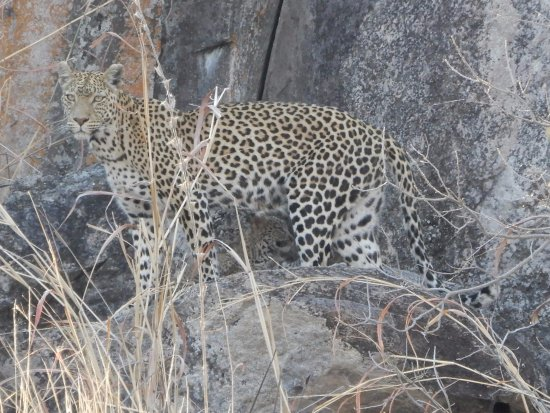 Savute Safari Lodge: leopard and baby