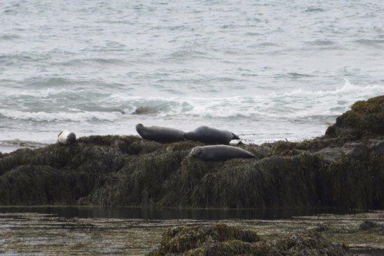 Hafnarfjordur, Ισλανδία: Vista de la colonia de focas