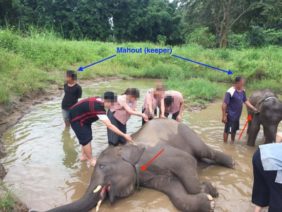 Ran-Tong Save & Rescue Elephant Centre : Forced elephants by Mahouts (keepers) in Ran-Tong (Save and Rescue Elephant Centre)