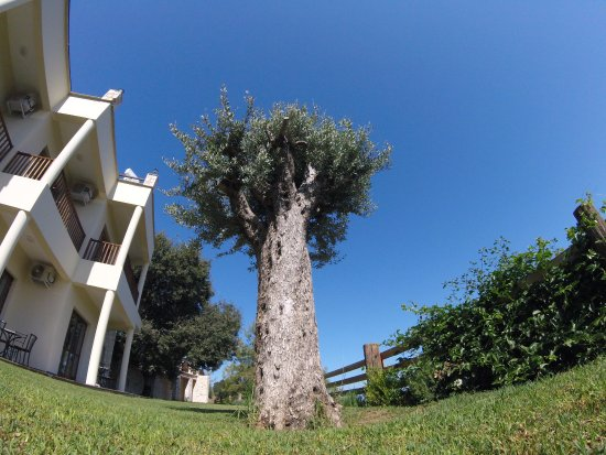 Lysos, Chipre: Beautiful old olive tree.