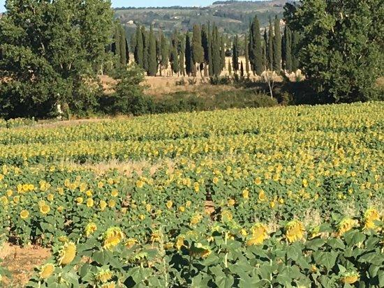 Siena House: Sunflower fields near the house