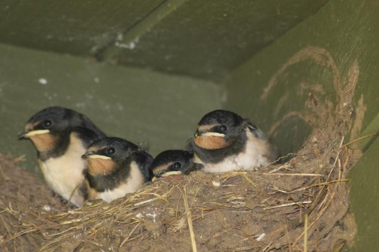 COOMBE FARMHOUSE : baby swallows in the eaves !