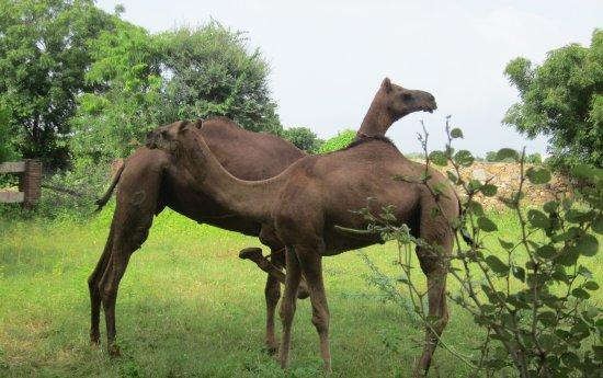 Camel Charisma