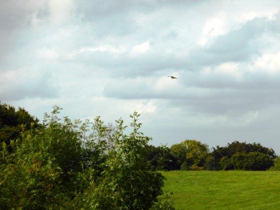 Aston Rowant, UK: One lone Red Kite