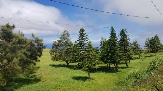 Hawi, HI: Evergreens