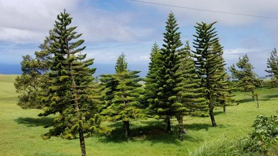 Hawi, HI: More Evergreens