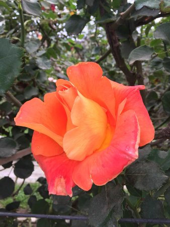 Cartago, คอสตาริกา: Un lugar increíble. Con senderos para recorrer con rosas de todo tipo, tamaño y color. Indicada