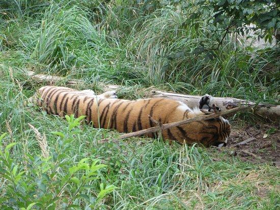 Zoo Eberswalde: Tygrys