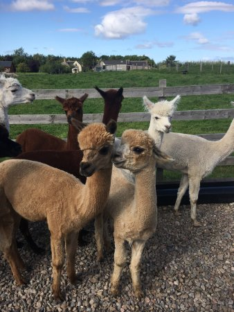 Alpaca Days Out: Our visit on Wednesday