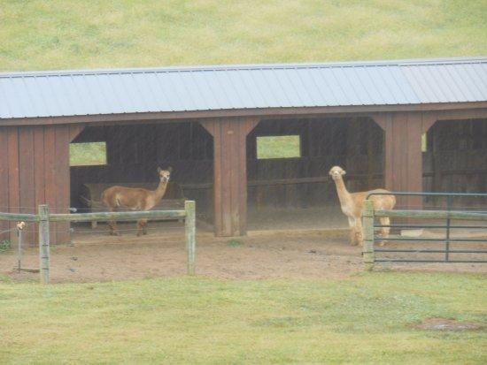Newcomerstown, OH: alpaca