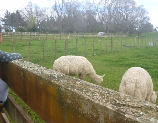 Levin, Nueva Zelanda: The two llamas on the Murrayfield's cafe property, kids can look at.