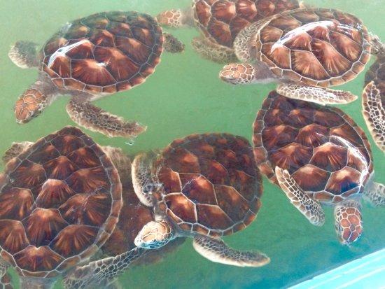 photo0.jpg - Picture of Royal Thai Navy Third Fleet Turtle Nursery, Khao Lak ...
