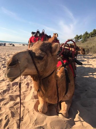 Red Sun Camels: Chilling before the ride