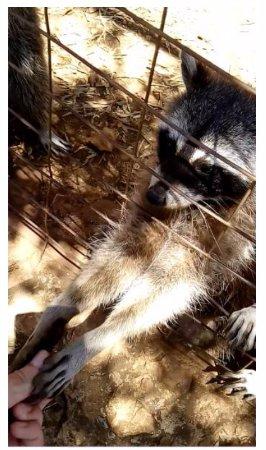 Volimes, Grecia: У енотов мягкие ладошки
