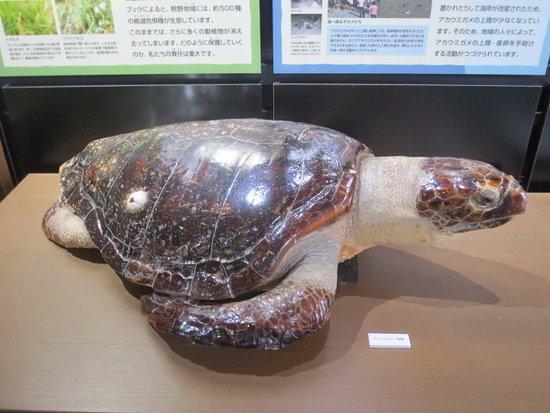 Owase, Ιαπωνία: アカウミガメ剥製