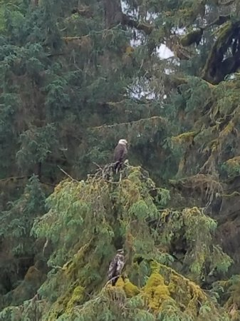 Wrangell, AK: Anan Bear Observatory, not just for bears! Amazing numbers of eagles too.