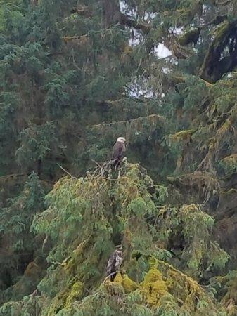 แรงเกล, อลาสกา: Anan Bear Observatory, not just for bears! Amazing numbers of eagles too.