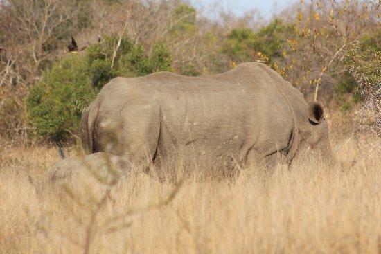 อุทยานแห่งชาติครูเกอร์, แอฟริกาใต้: Rhino with calf as seen on an amatungulu.com tour.