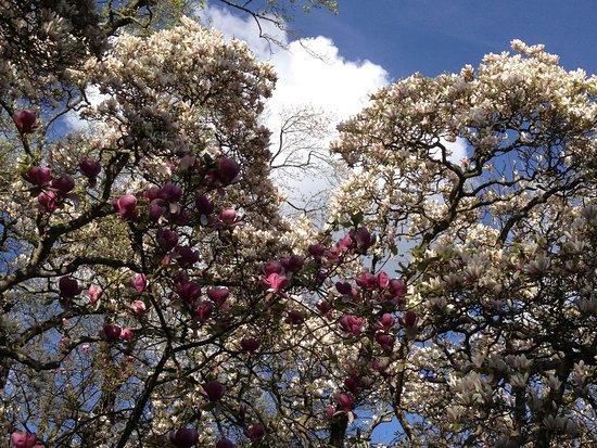 magnolias en fleurs - Photo de Jardin des Plantes, Nantes - TripAdvisor